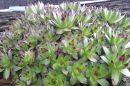Čuvarkuća - biljka koja 'leči sve': Pripremite mast, čaj i sok od ove biljke! (Recept)