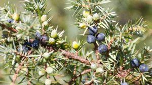 Ove crne bobice čiste krv, regulišu varenje i stomačne probleme: biljka koja vraća zdravlje!