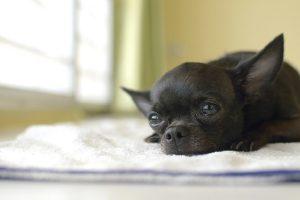 Da li je tužan pogled vašeg psa zaista tužan?
