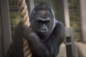 Uginula gorila Koko, koja se sporazumevala znakovnim jezikom