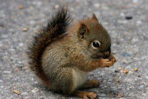 TUŽNO ! Pratila ga beba veverica, a on obavestio policiju o tome
