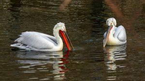 Kudravi pelikani posle 100 godina ponovo stigli na Dunav (VIDEO)