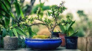 Ukarli im vredan bonsai: Molimo da ga redovno zalivaju