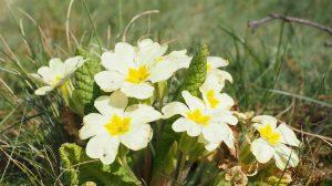 Ova prolećna biljka je prava riznica zdravlja